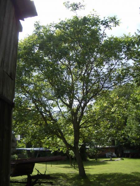 walnussbaum pflanzen was beachten haus garten forum. Black Bedroom Furniture Sets. Home Design Ideas