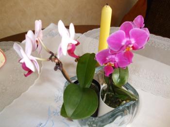 heute beim einkauf im supermarkt habe ich mini orchideen gesehen haus garten forum. Black Bedroom Furniture Sets. Home Design Ideas