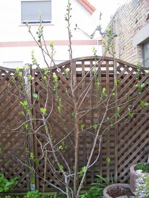 mein feigenbaum treibt jetzt erst ganz vorsichtig aus haus garten forum. Black Bedroom Furniture Sets. Home Design Ideas